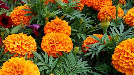 12_marigold-flower
